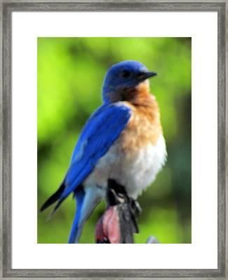 Proud Bluebird Out Kitchen Window Framed Print by Betty Pieper