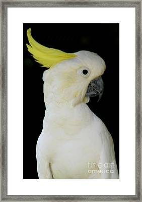 Proud Cockatoo Framed Print