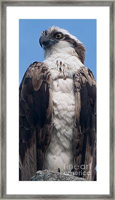 Proud Hawk Framed Print