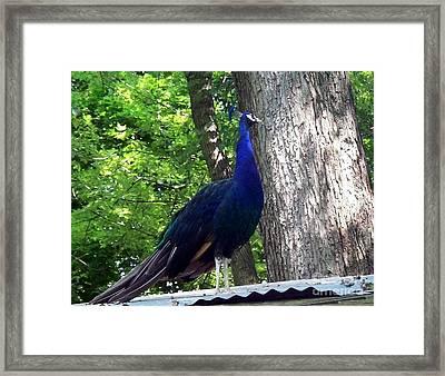 Proud Peacock Framed Print by Emily Kelley