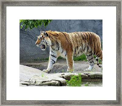 Prowler Framed Print by Gordon Dean II