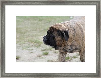 Prowling Bullmastiff Dog Framed Print