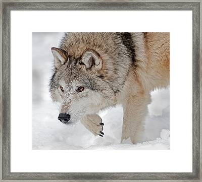 Prowling Wolf Framed Print