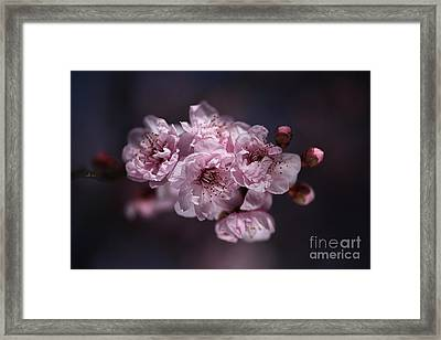 Prunus A Pink Spring Framed Print