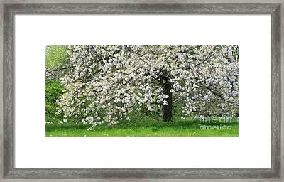 Prunus Choshu Hizakura  Framed Print by Tim Gainey