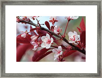 Prunus Cistena Framed Print by Rodger Werner