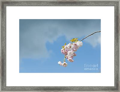 Prunus Ichiyo Blossom  Framed Print by Tim Gainey