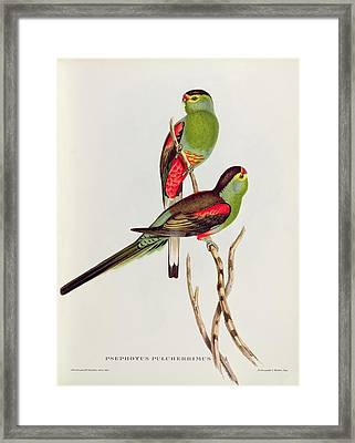 Psephotus Pulcherrimus Framed Print