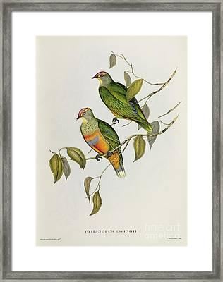 Ptilinopus Ewingii Framed Print by John Gould