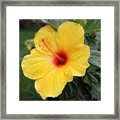 Pua Aloalo Framed Print