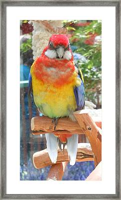 Multi-color Pudgy Budgie Framed Print