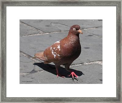 Puerto Rican Pigeon Framed Print by Suhas Tavkar
