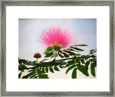 Puff Of Pink - Mimosa Flower Framed Print
