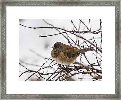 Puffed Up Junco Framed Print by Jean Noren