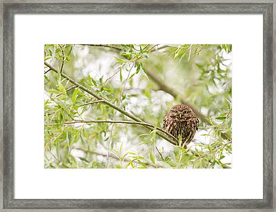 Puffed Up Little Owl In A Willow Tree Framed Print by Roeselien Raimond