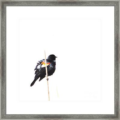 Puffed Up Red-winged Blackbird Framed Print