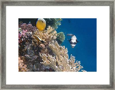 Pufferfish And Butterflyfish Framed Print