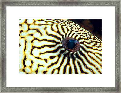 Pufferfish Framed Print by Dave Fleetham - Printscapes