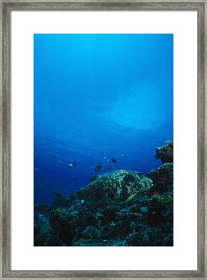 Pufferfish On Coral Reef Framed Print by James Forte