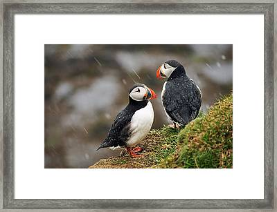 Puffin Couple Framed Print by Wixmo