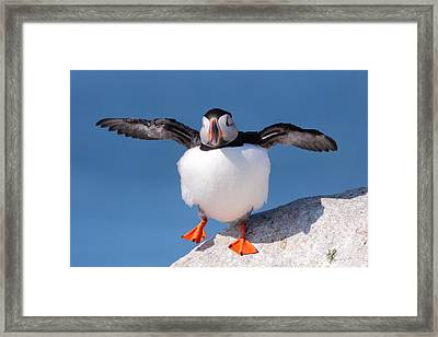 Puffin Dance Framed Print by Bruce J Robinson