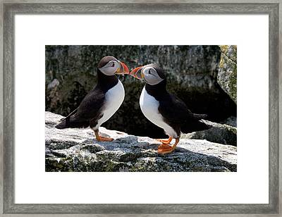 Framed Print featuring the photograph Puffin Love by Brent L Ander