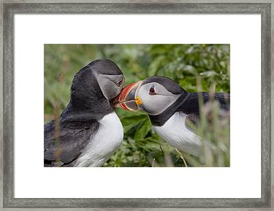 Puffin Love Framed Print