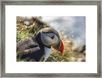 Puffin  Framed Print by Patricia Hofmeester