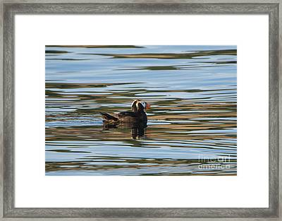 Puffin Reflected Framed Print by Mike Dawson