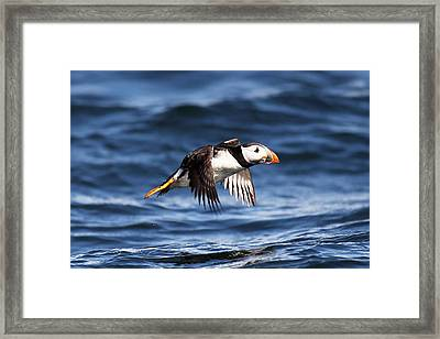 Puffin - Sea Skimmer Framed Print