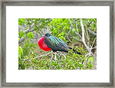 Puffing Up When Courting Framed Print