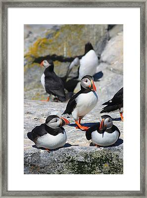 Puffins At Rest Framed Print by John Burk