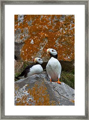 Puffins On A Lichen-covered Cliff Horned Puffins, Fratercula Corniculata, Lake Clark National Park, Alaska, Usa Framed Print by Mint Images/ Art Wolfe