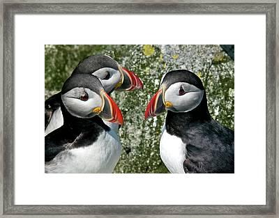 Puffins Together Framed Print