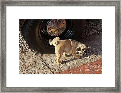 Pug Dog Framed Print by Juan  Silva