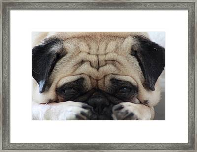 Pug Face Framed Print by Michael Albright