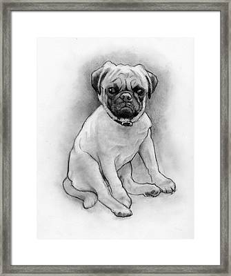 Pug Puppy In Pencil Framed Print