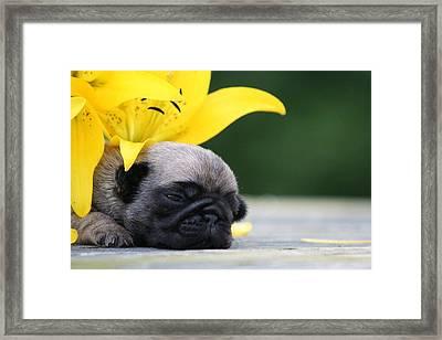 Puggy Face Bouqet Framed Print