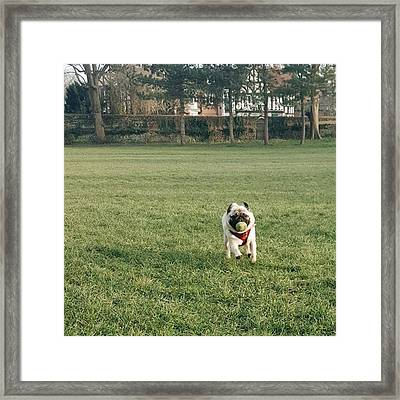 #pugsofinstagram #puglife #pug Framed Print by Natalie Anne