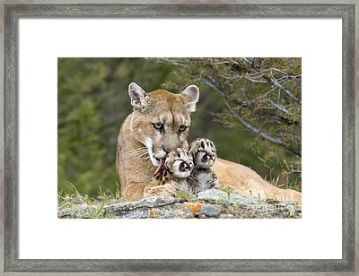 Puma Licking Cubs Framed Print