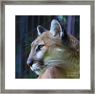Puma Framed Print by Robert Pearson
