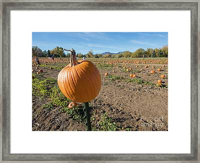 Pumpkin Patch Framed Print by Juli Scalzi