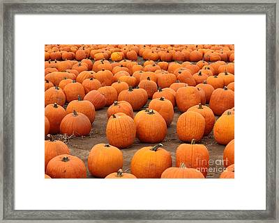 Pumpkins Waiting For Homes Framed Print by Carol Groenen