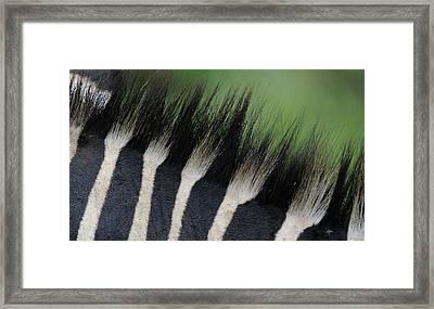 Punda Malia Mane Framed Print by Ian Ashbaugh