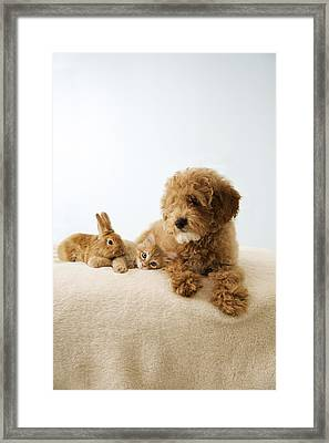 Puppy Lying Down With Kitten And Bunny Framed Print by Gillham Studios