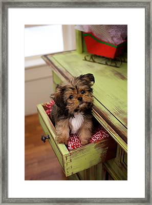 Puppy Sitting In Desk Drawer Framed Print by Gillham Studios