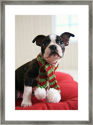 Puppy Wearing Red And Green Striped Framed Print