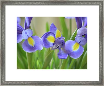 Pure Iris Framed Print by Sharon Lisa Clarke
