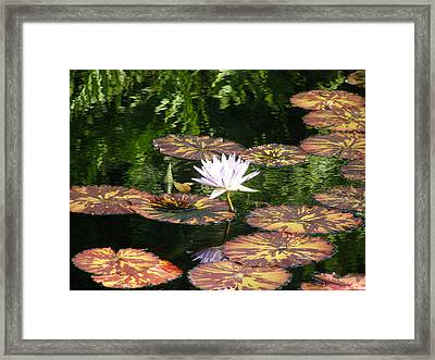Pure Water Lily Framed Print by Jeanette Oberholtzer