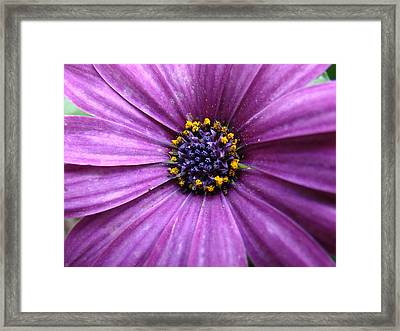 Purple African Daisy Framed Print